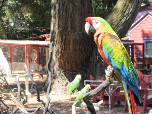 Parrots at Isis Oasis in Geyserville