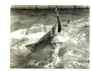 A sharkfeeding in the seventies, when real sharks were in the shark channel